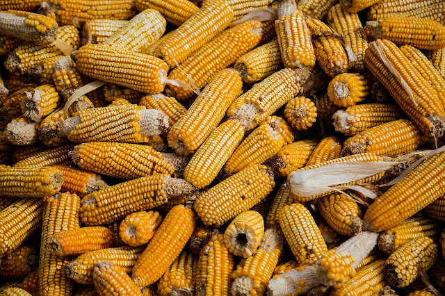 a bunch of sweet corn and how to grow them