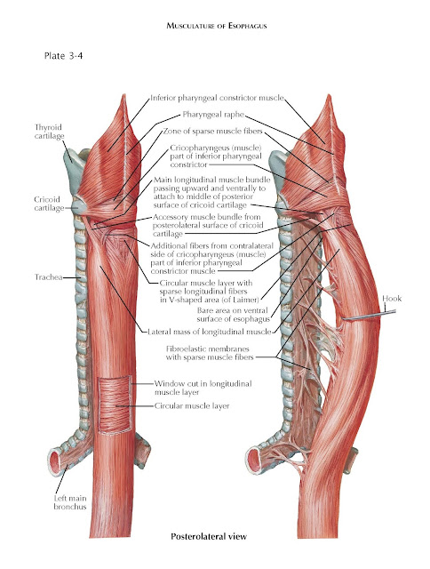 Musculature of Esophagus