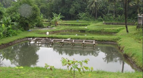 Cara Budidaya Ikan Tombro
