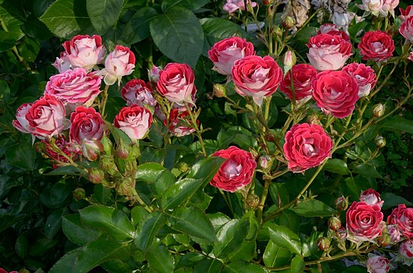 Schone Koblenzerin сорт розы фото