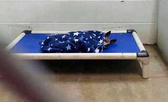 Старенький чихуашка, попавший в приют после смерти своего хозяина, чтобы успокоиться,  постоянно укрывался одеялом – Это увидела одна женщина….