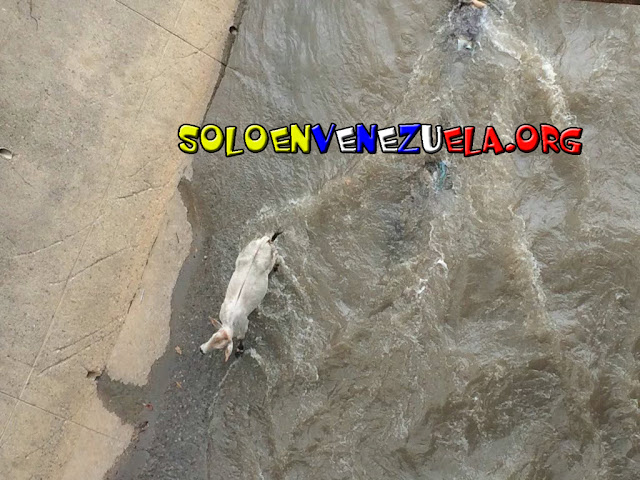 Dos vacas se pasearon este domingo por el RÍo Guaire
