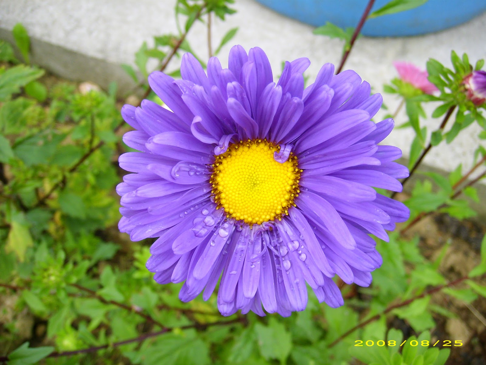 Aster De Colores El Jardin De Elbe