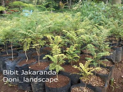 jual pohon jakaranda | bibit jacaranda | pohon pelindung | taman kota
