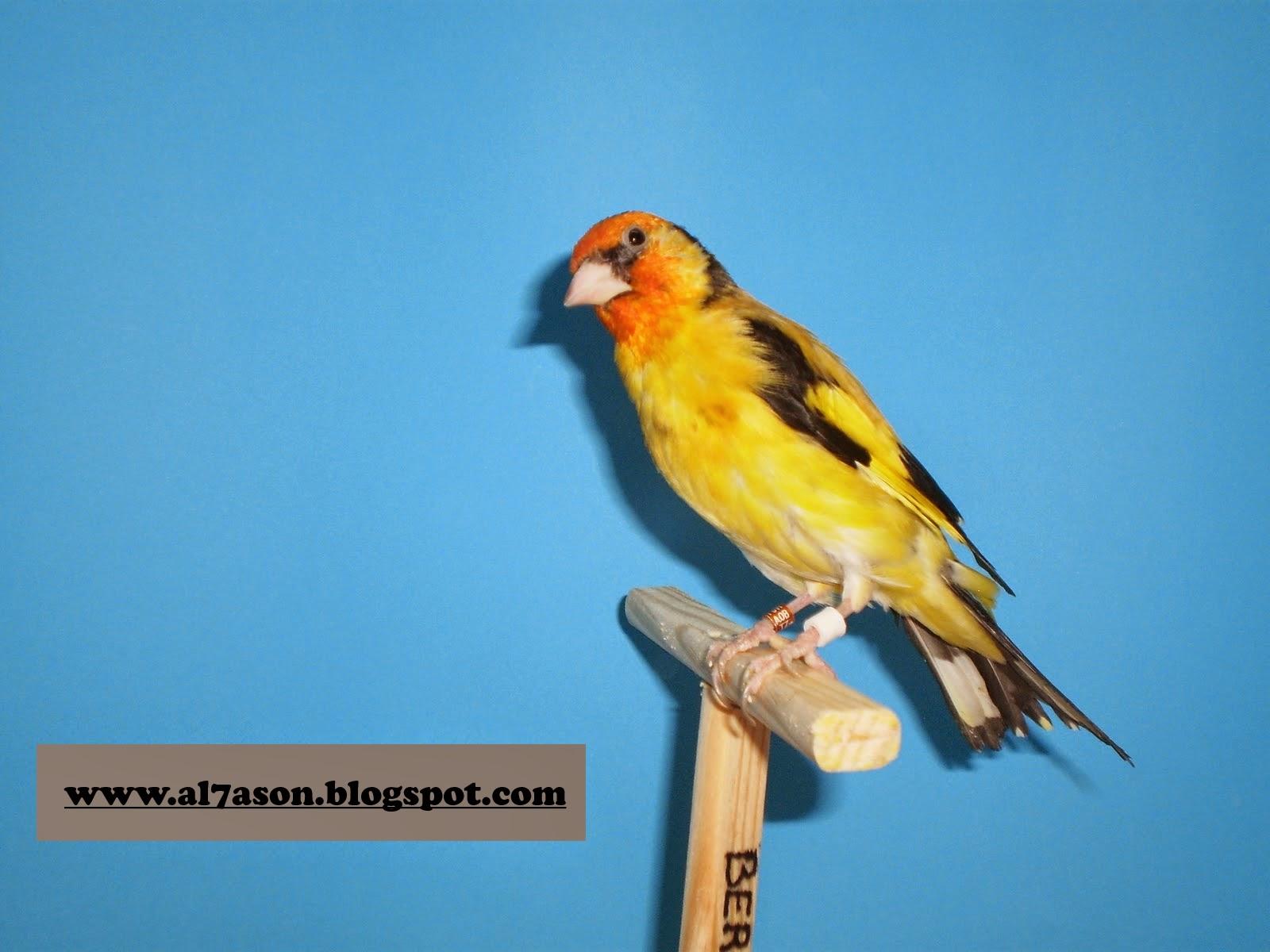 طائر الحسون,  الطفرة عند طائر الحسون,  طفرة الراس الابيض عند الحسون