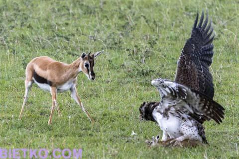 linh dương mẹ tìm cách cứu con khỏi móng vuốt của đại bàng