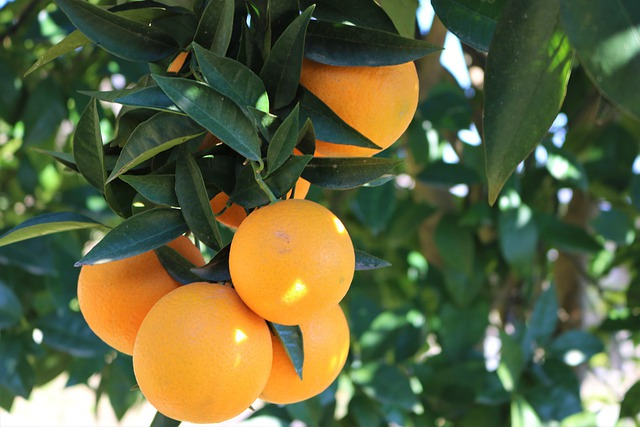 Orange (Malta) fruit crop Guidelines for Ambia bahar 5