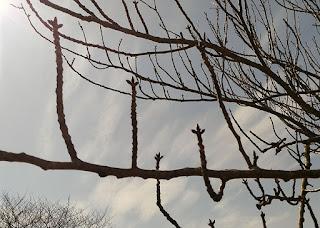 ソメイヨシノのつぼみ 3月13日