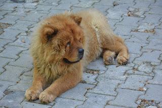 Chow Chow lion dog