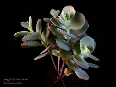 Suculenta Kalanchoe marnieriana