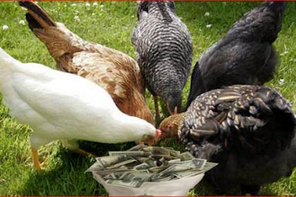 Awasss, Makan 5 Bagian Ayam Ini Bagaikan Menelan Racun