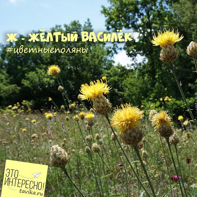 желтый василек, Крым