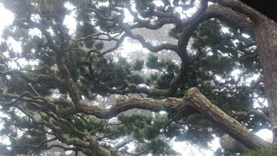 San Francisco Japanese Tea Garden - Tracery in the pines