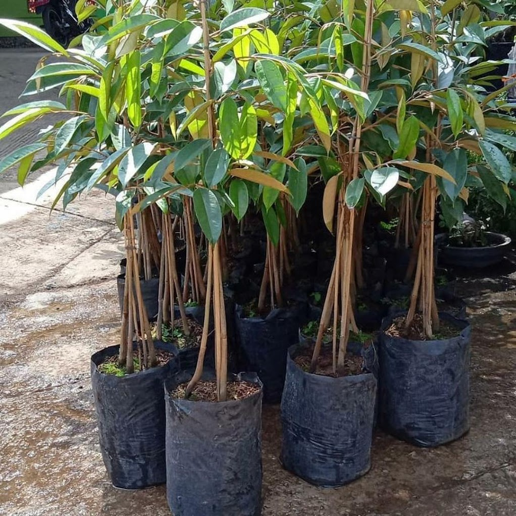 Bibit Durian Bawor Kaki 3 okulasi Super Kalimantan Utara