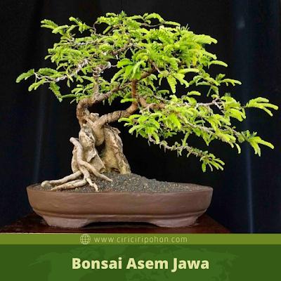 Bonsai Asem Jawa