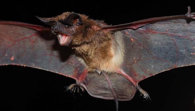 Casos de raiva em morcegos triplicam e Saúde do RN entra em alerta