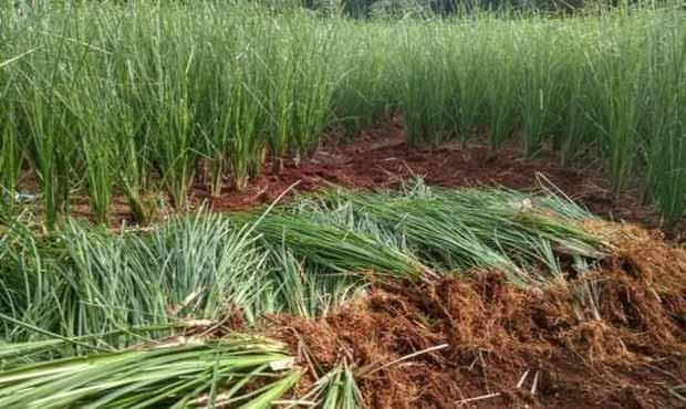 Tanaman Rumput Akar Wangi Efektif Cegah Longsor