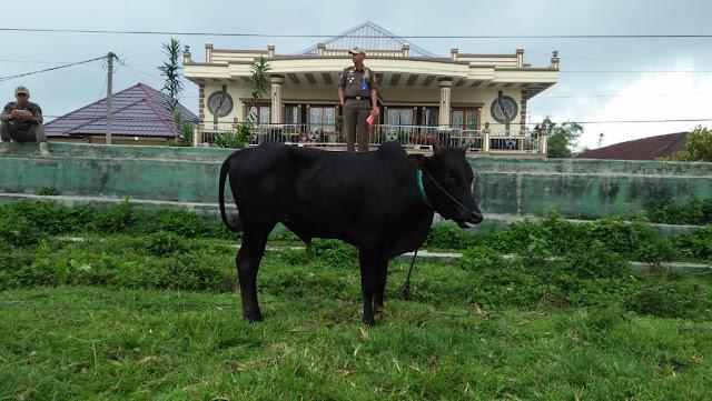 Sat Pol-PP Bersama Aparat Kelurahan Pasar Liwa Tertibkan Hewan Ternak di Fasilits Umum