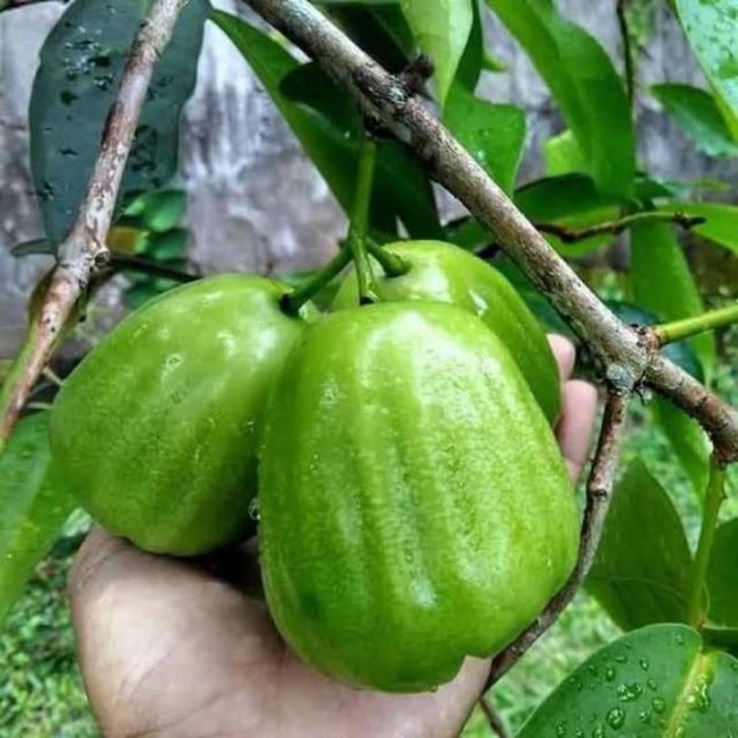 bibit tanaman jambu air kiojok super manis Gorontalo