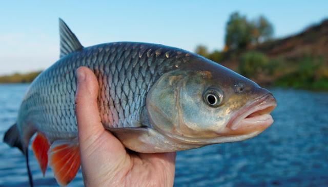 Ikan membusuk mulai dari kepala ?