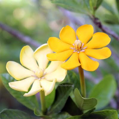 พุดสี (พุดสีดา) พรรณไม้ดอกพุดพื้นเมืองของไทย ดอกสีเหลือง ดอกมีกลิ่นหอม