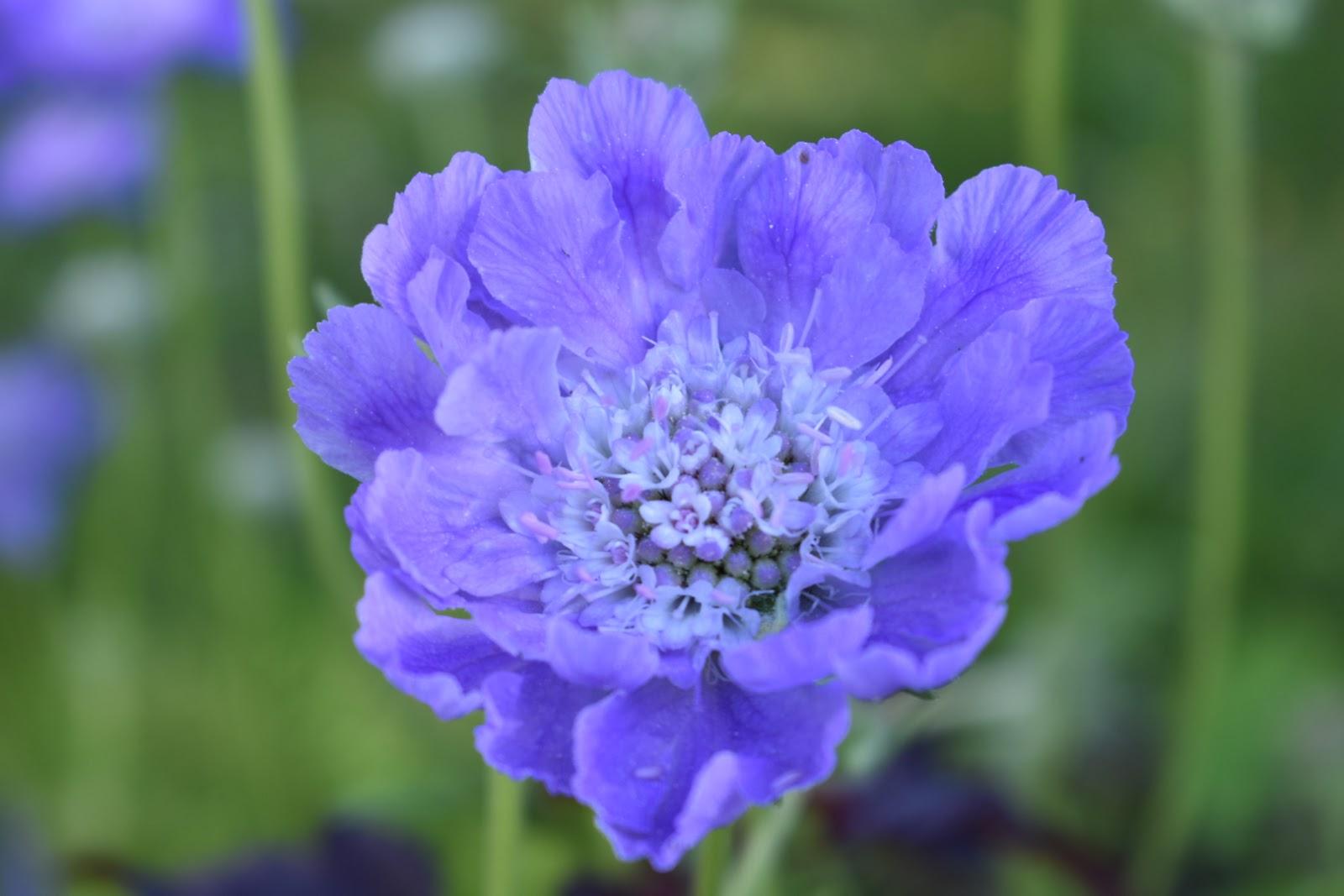 Scabiosa caucasica 'Perfection Blue'