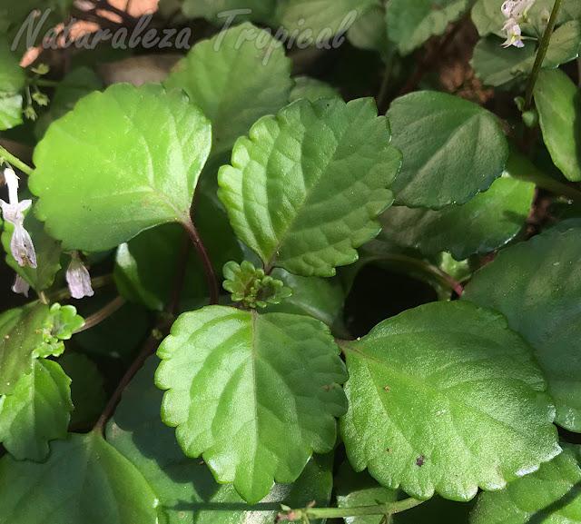 Vista de las hojas típicas de la Planta del Dinero, Plectranthus verticillatus