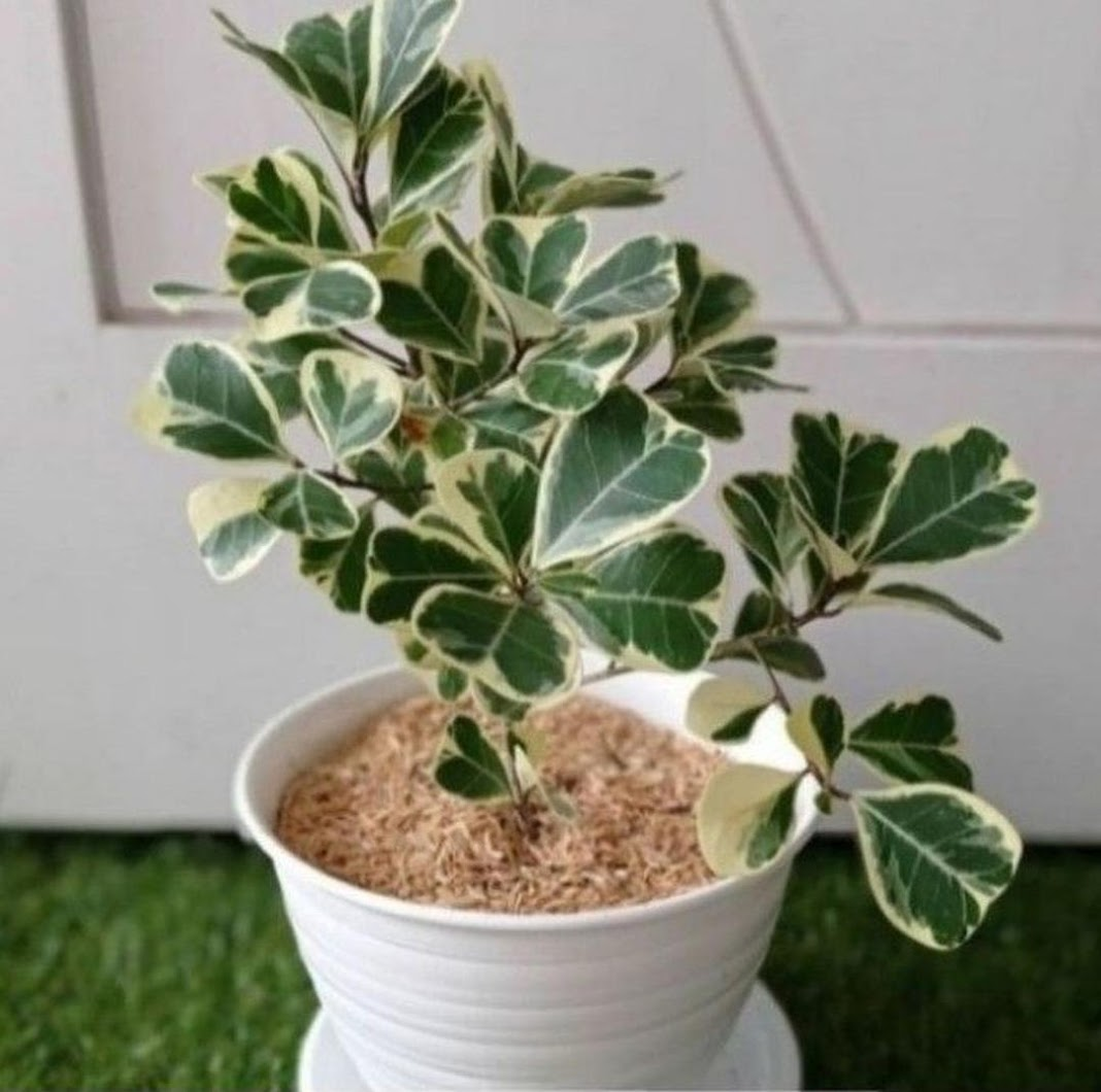 BISA COD Tanaman Hias Ficus Butterfly Beringin Kupu Kupu Variegata Ficus Triangularis Varigata Riau