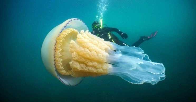 Dünyanın en büyük denizanası olduğu düşünülen bu canlı, Britanya denizlerinde görüntülendi.