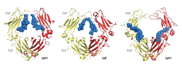 The structures of the Fc regions of human IgG1, IgE, and IgA1