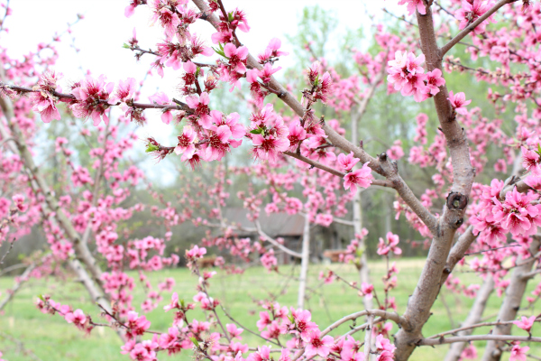 photography, peach tree, flowers