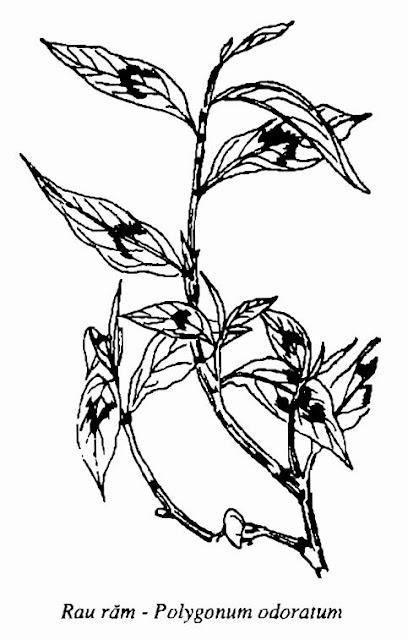 Hình vẽ Rau Răm - Polygonum odoratum - Nguyên liệu làm thuốc Đắp vết thương Rắn Rết cắn