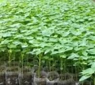 jenis pepaya, pepaya hawai, pepaya sunrise, benih known you seed, jual benih pepaya, toko pertanian, toko online, lmga agro
