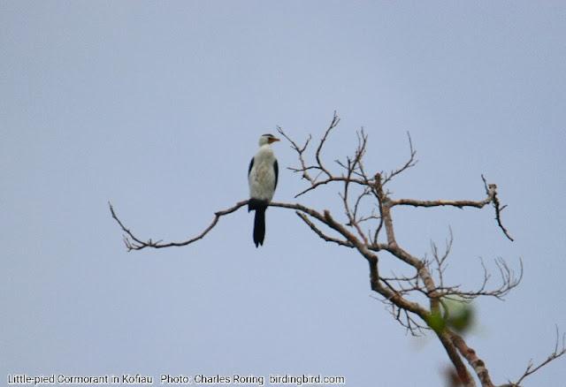 Little-pied Cormorant (Microcarbo melanoleucos) in Kofiau island