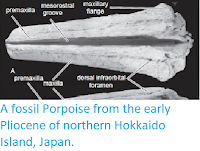 https://sciencythoughts.blogspot.com/2013/09/a-fossil-porpoise-from-early-pliocene.html