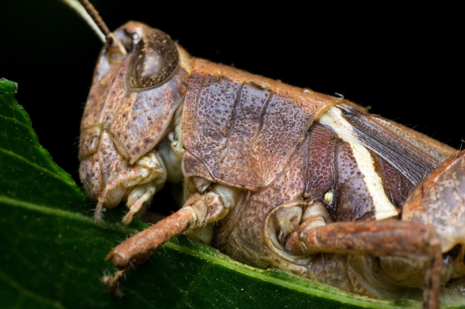An image of a locust eating green leaf.