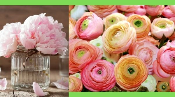 Peonies are one of many best-known perennials flowers