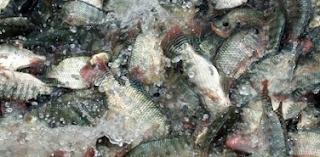 Cara Tepat Budidaya Ikan Nila Untuk Hasil Fantastis