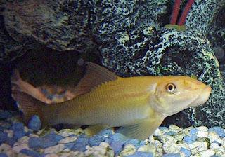 Ikan Chinese Algae Eaters (CAE) untuk Aquascape