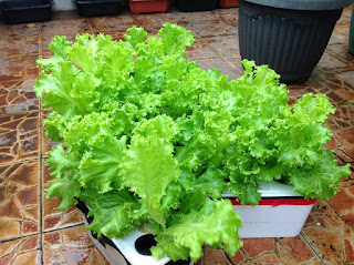 10 Health Benefits of Lettuce (Lactuca sativa)