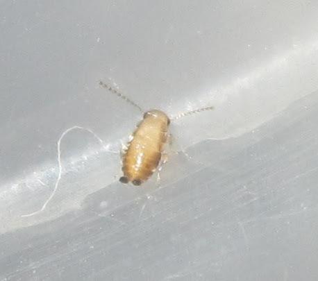 Plectopterapoeyi%252313.JPG