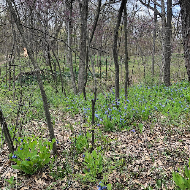 Virginia bluebells and other wildflowers carpeted the woodland floor of  Reed-Turner Woodlands during our visit.