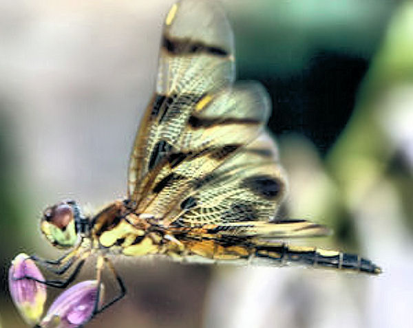 A Guide To Northeastern Gardening Garden Close Up The Legend Of The Dragonfly