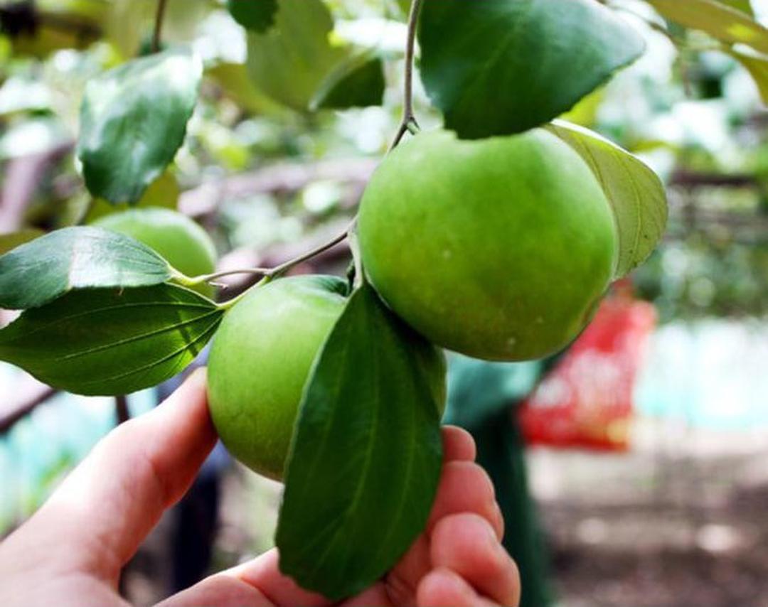 Ready! Diskon Bibit Buah Apel Bekul Putsa Murah Scpy Kota Bekasi #bibit buah