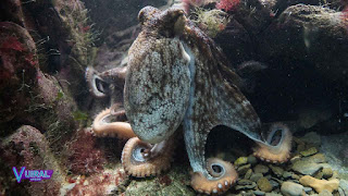 Contoh Hewan Mollusca Gurita