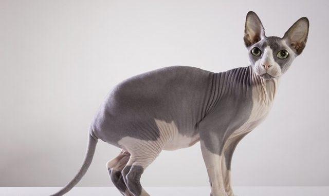 Gambar kucing sphynx