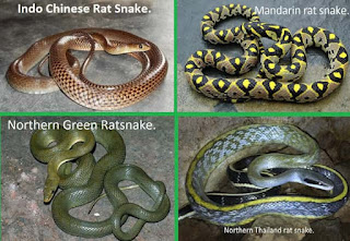 Indo Chinese rat snake
