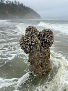 Neskowin Ghost Forest - Sitka spruce stump with barnacles.