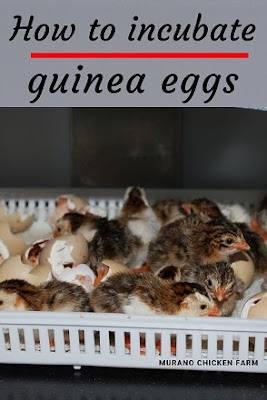 how to incubate guinea eggs