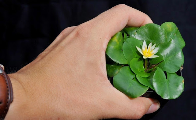 Smallest Lotus